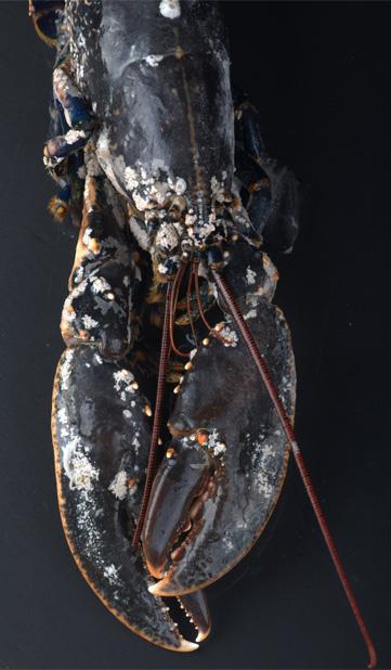 langosta-congelada